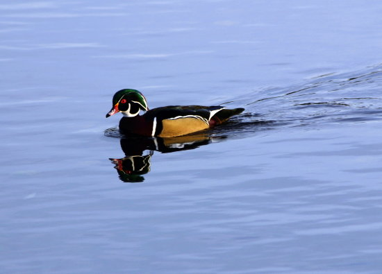 cruising woodduck duck BC Canada