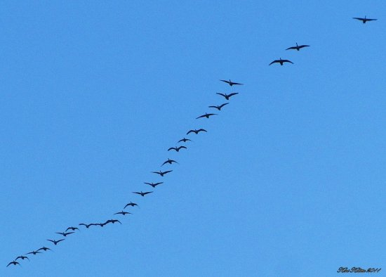 Gees Blue Sky December 2011 Skane Sweden Kvidinge Flying South
