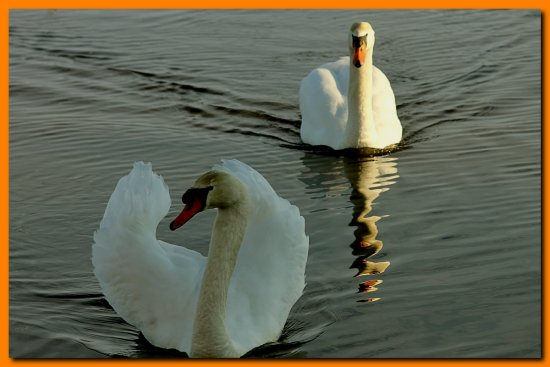 reflectionthursday swan