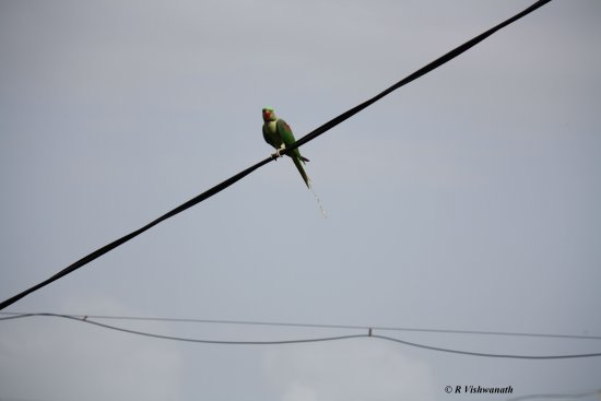 Common Indian parrot