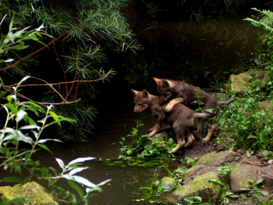 young wolves zoo