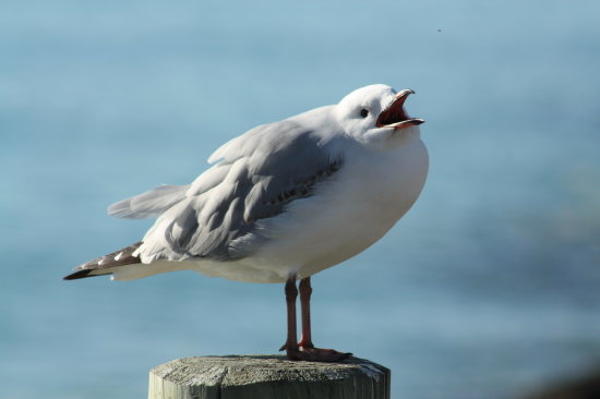 A seagull doing the normal vocal sqawk