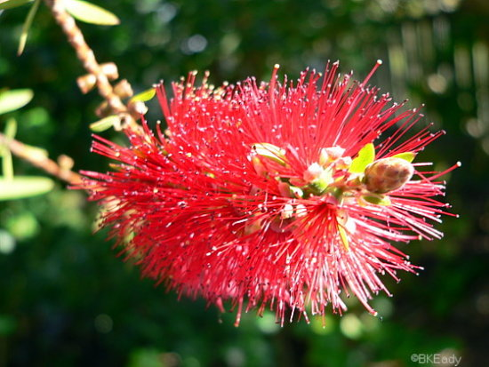 flower bottlebrush closeup macro