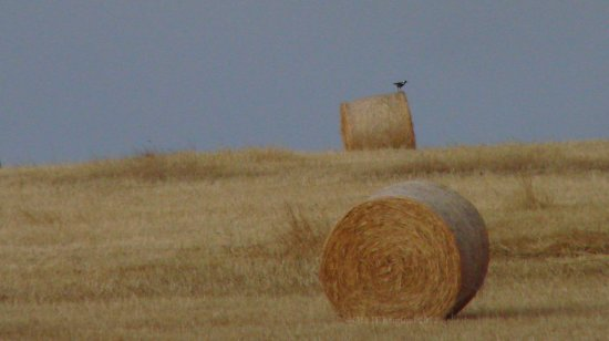 look out bird magpie hay bale perth hills littleollie
