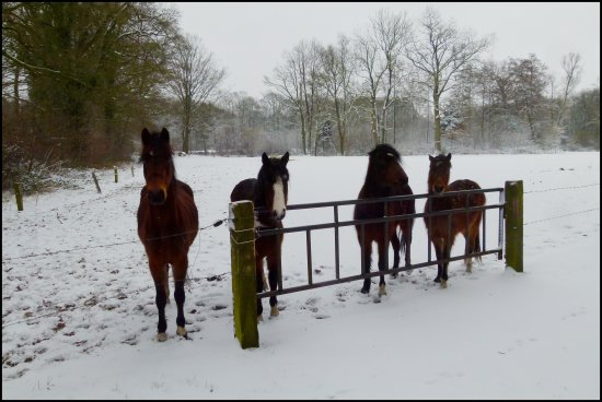 winter holland horses