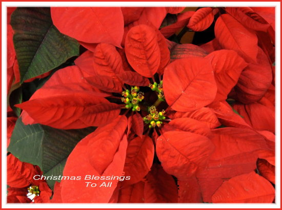 red poinsettia greeting