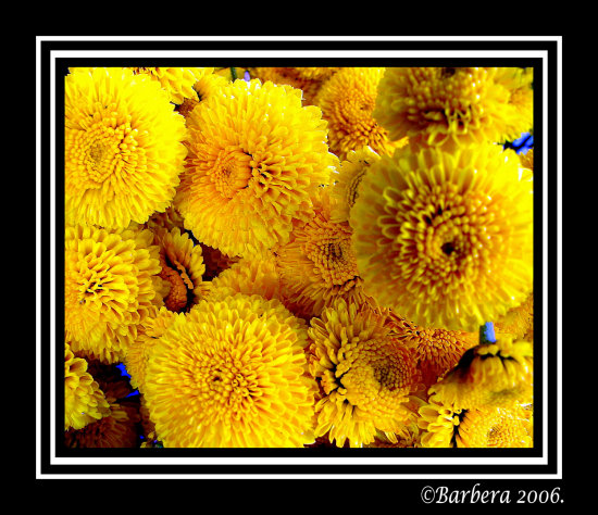 yellow flower nature chile