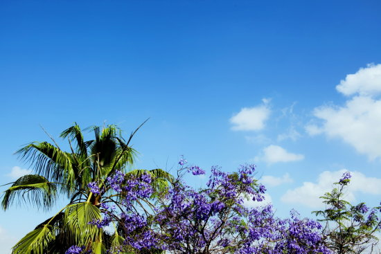 jacaranda palm blue sky clouds