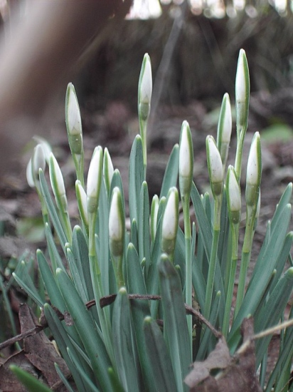 """The first flowers to grow here after winter.We call them """"sneeuwklokjes"""" . Snowbells.I couldn't r..."""
