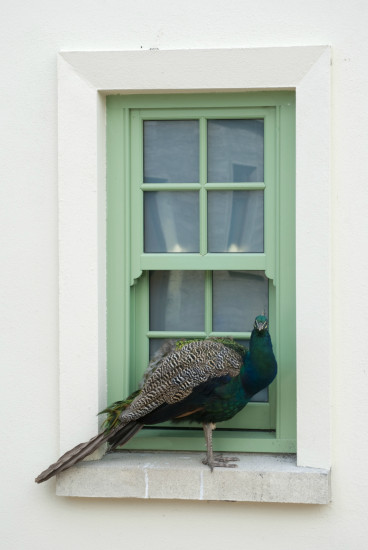 Peacock bird window windowclub