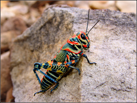 A side view of this pretty little grasshopper.