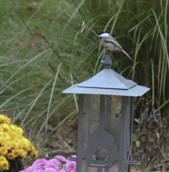 bird chickadee yard fall