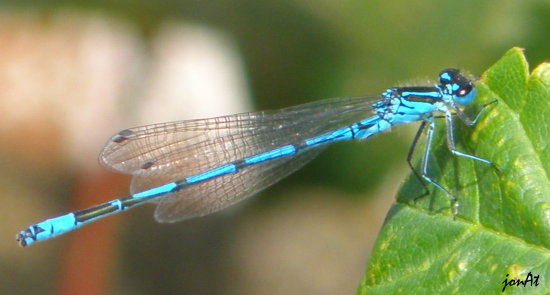 damselfly insect wildlife nature