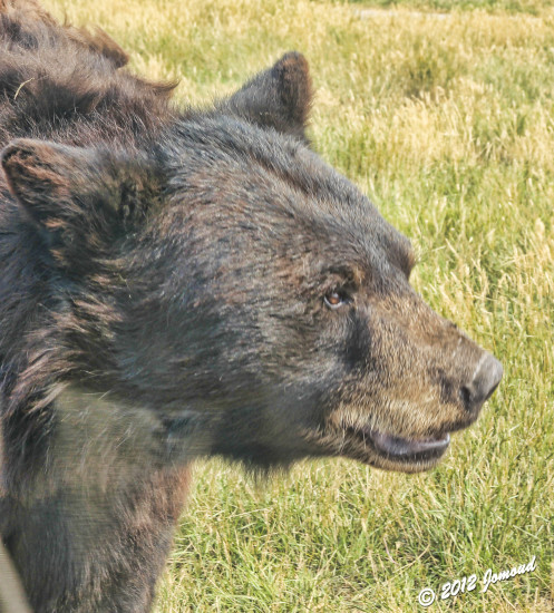 blackhills southdakota animals bears