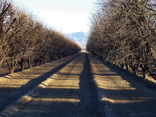 Pecan orchard January Arizona