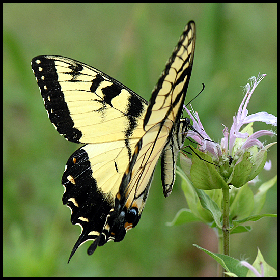 tiger swallowtail butterfly nature beebalm
