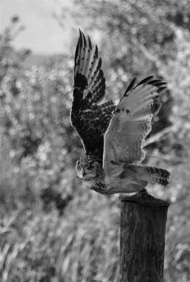 eagleowl owl scotland