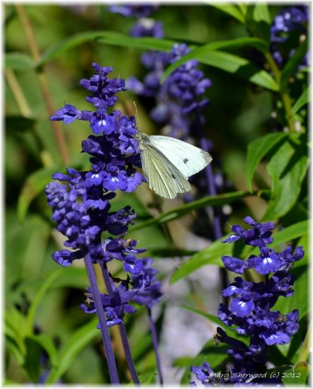 butterfly salvia