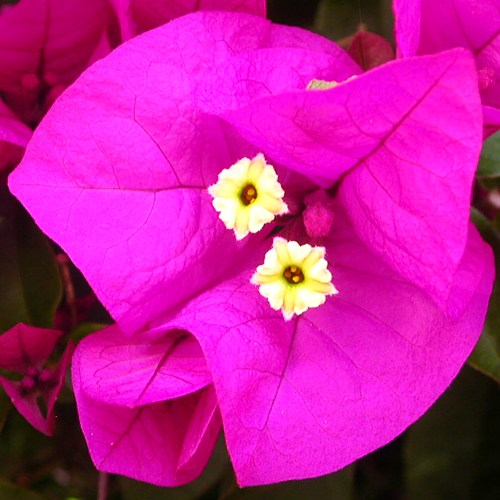 bougainvillea flower tiny pinkfph