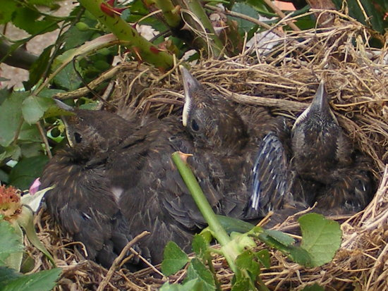 young black birds