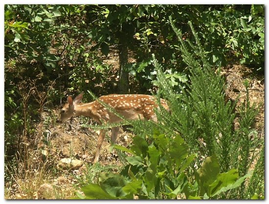 fawn deer nature animal