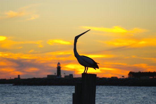 Pelican pose sunset fremantle littleollie