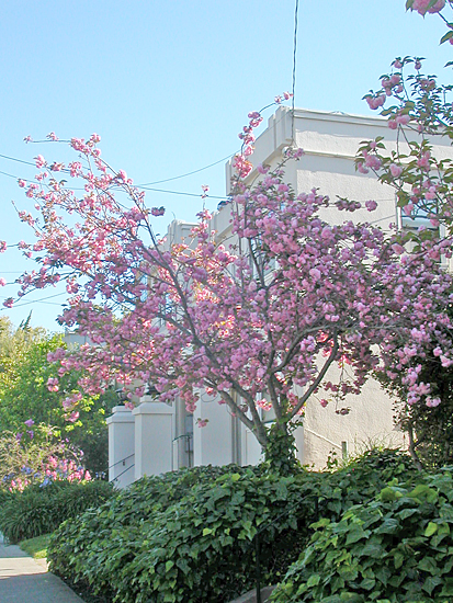 spring blue pink cherry tree may pinkfph