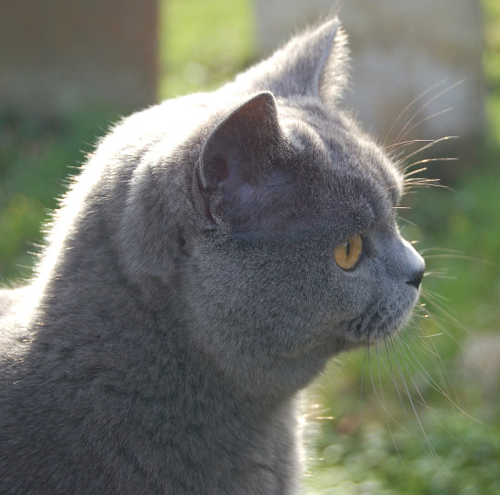 churchyard cat grey