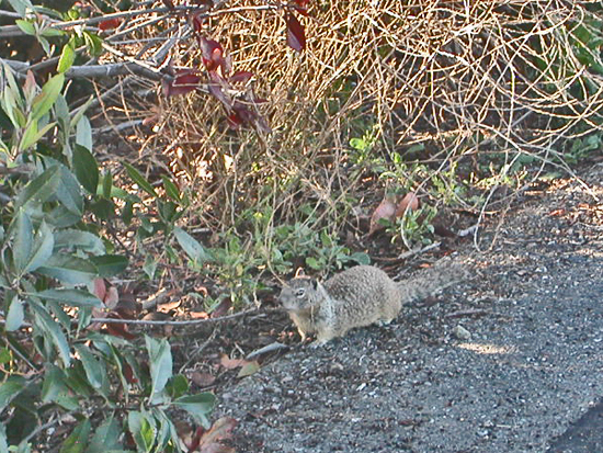 mlkparkfph shoreline oakland wildlife squirrel groundsquirrel trail