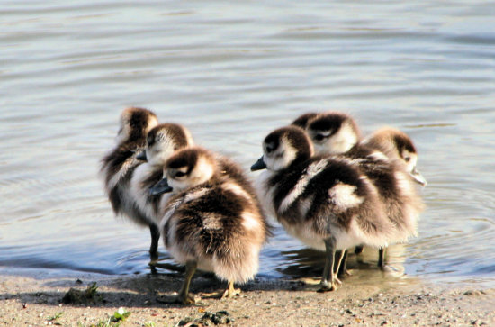 birds young geese