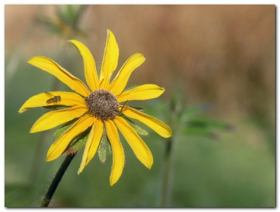 blackeyedsusan hoverfly wildflower insect nature garden