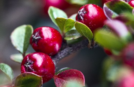 Nature jaroslavas close up close macro garden close red berries