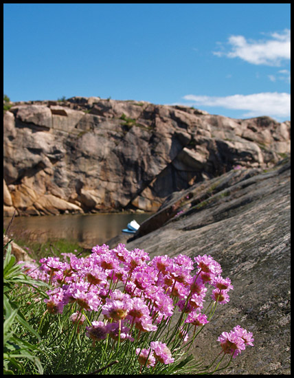 thrift flowers pink rocks