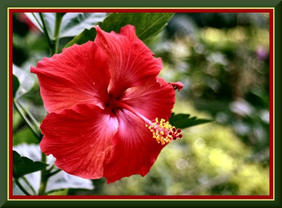 hibiscus Lucknow India