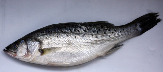 Japanese sea bass - Suzuki - Lateolabrax japonicus