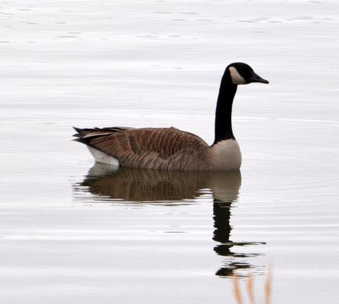 goose water canada winter lake hunting waterfowl