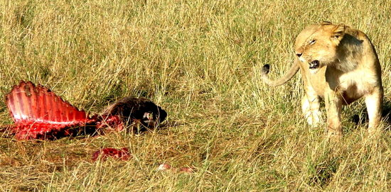 Supper Kenya lion hunt kill