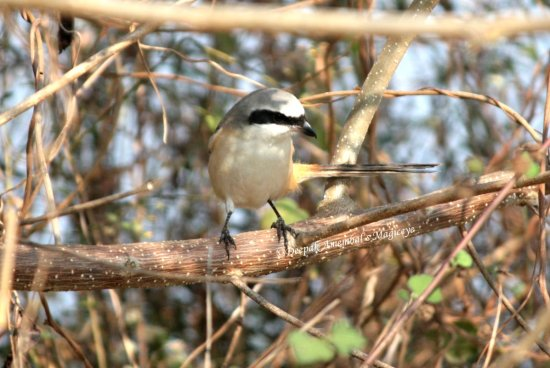 long tail shrike bird dandeli karnataka india