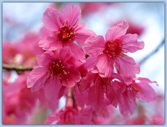I haven't uploaded anything for a long time, so it is about time to share these lovely blossoms o...