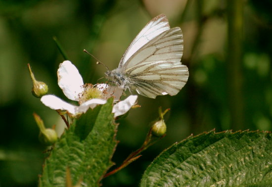greenveinedwhite butterfly shapwick heath somerset