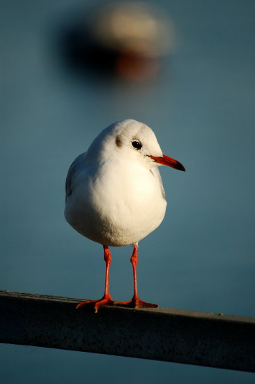 black headed gull appledore birds carlsbirdclub wildlife