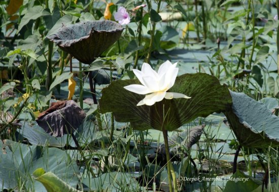 lotus pond india whhite