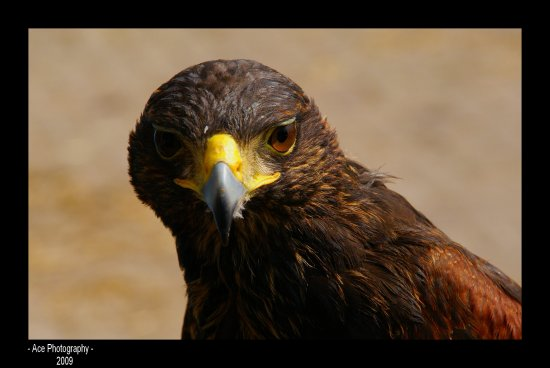 bird of prey benny harris hawk
