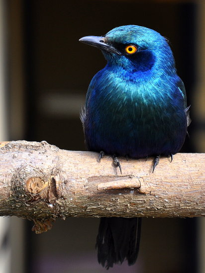 emerald starling birds