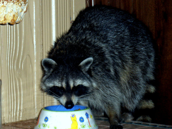neighborhood thief racoon