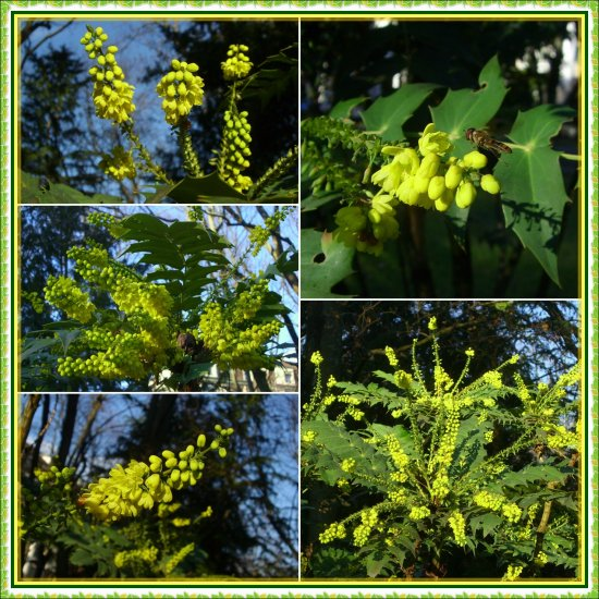 mahogany yellow blossoms collage