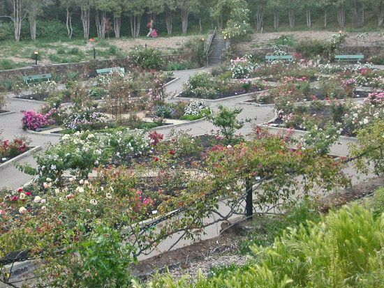 roses morcom oakland rgardenfphmay09 amphitheater