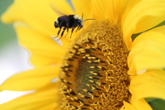 ShutterlySpectacularPhotography BumbleBee Sunflower