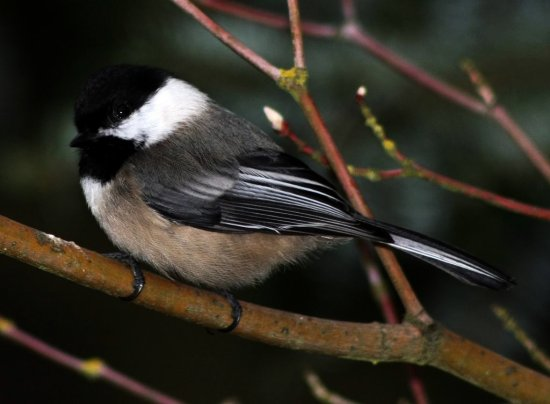 blackcapped chickadee Burnaby BC Canada