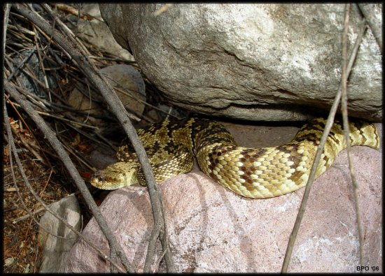 Blacktail rattlesnake as I founf him out sunning between two rocks.
